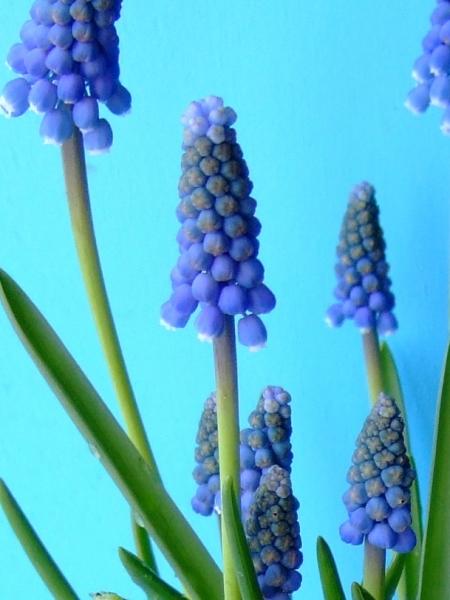 Blue Magic (aucheri) - L. Rotteveel u0026 Zonen Export BV