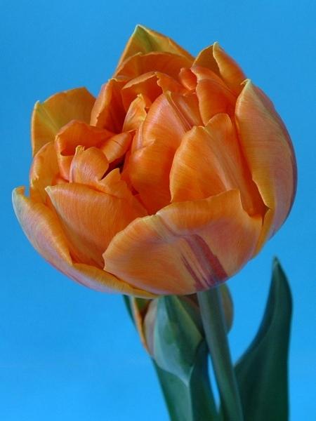 Orange Princess - L. Rotteveel u0026 Zonen Export BV
