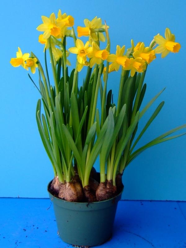 Producing Daffodils As Pot Plants L Rotteveel Amp Zonen